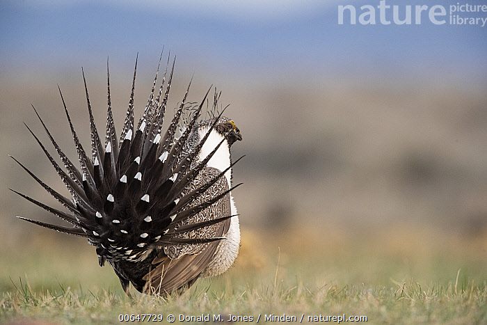 Sage Grouse (Centrocercus urophasianus) male in courtship display at lek, Montana  ,  Adult,Centrocercus urophasianus,Color Image,Courting,Day,Displaying,Full Length,Gamebird,Horizontal,Lek,Male,Montana,Nobody,One Animal,Outdoors,Photography,Rear View,Sage Grouse,Side View,Wildlife  ,  Donald M. Jones
