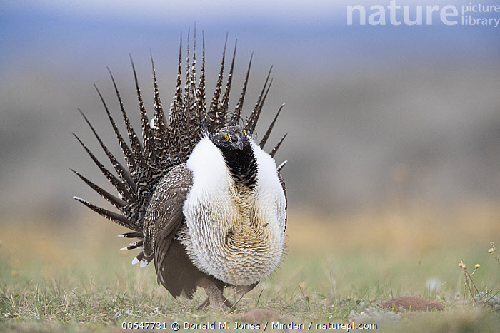Sage Grouse (Centrocercus urophasianus) male in courtship display at lek, Montana  ,  Adult,Centrocercus urophasianus,Color Image,Courting,Day,Displaying,Full Length,Gamebird,Horizontal,Lek,Male,Montana,Nobody,One Animal,Outdoors,Photography,Sage Grouse,Side View,Wildlife  ,  Donald M. Jones