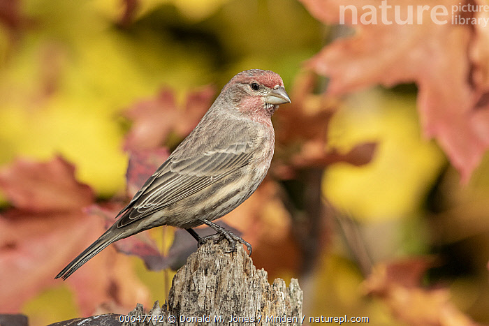 House Finch (Carpodacus mexicanus) male, Montana  ,  Adult,Carpodacus mexicanus,Color Image,Day,Full Length,Horizontal,House Finch,Male,Montana,Nobody,One Animal,Outdoors,Photography,Side View,Songbird,Wildlife  ,  Donald M. Jones