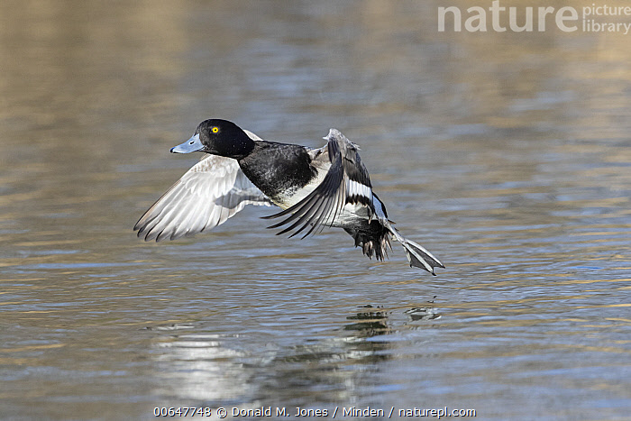 Lesser Scaup (Aythya affinis) drake flying, Montana  ,  Adult,Aythya affinis,Color Image,Day,Drake,Flying,Full Length,Horizontal,Lesser Scaup,Male,Montana,Nobody,One Animal,Outdoors,Photography,Side View,Waterfowl,Wildlife  ,  Donald M. Jones