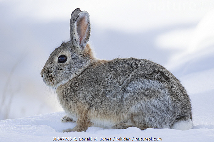 Mountain Cottontail (Sylvilagus nuttallii) in winter, Montana  ,  Adult,Color Image,Day,Full Length,Horizontal,Montana,Mountain Cottontail,Nobody,One Animal,Outdoors,Photography,Side View,Snow,Sylvilagus nuttallii,Wildlife,Winter  ,  Donald M. Jones