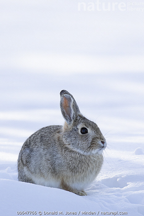 Mountain Cottontail (Sylvilagus nuttallii) in winter, Montana  ,  Adult,Color Image,Day,Full Length,Montana,Mountain Cottontail,Nobody,One Animal,Outdoors,Photography,Side View,Snow,Sylvilagus nuttallii,Vertical,Wildlife,Winter  ,  Donald M. Jones