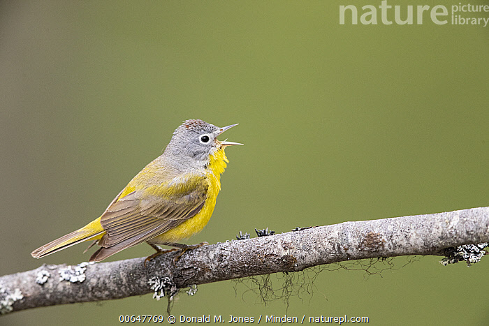 Nashville Warbler (Oreothlypis ruficapilla) calling, Montana  ,  Adult,Calling,Color Image,Day,Full Length,Horizontal,Montana,Nashville Warbler,Nobody,One Animal,Open Mouth,Oreothlypis ruficapilla,Outdoors,Photography,Side View,Singing,Songbird,Wildlife  ,  Donald M. Jones
