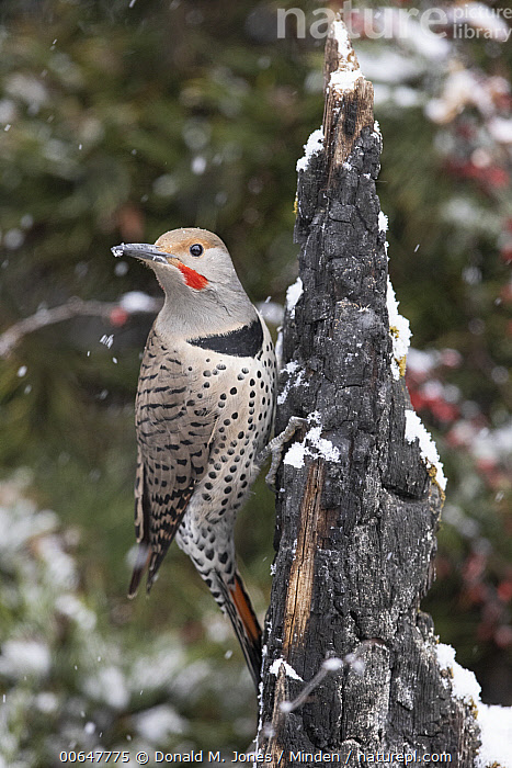 Northern Flicker (Colaptes auratus) male in winter, Montana  ,  Adult,Colaptes auratus,Color Image,Day,Full Length,Male,Montana,Nobody,Northern Flicker,One Animal,Outdoors,Photography,Side View,Vertical,Wildlife,Winter  ,  Donald M. Jones