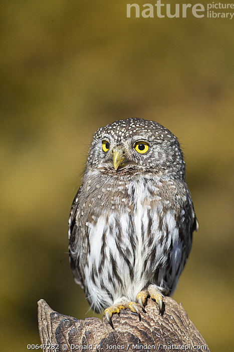 Mountain Pygmy-Owl (Glaucidium gnoma) in winter, Montana  ,  Adult,Color Image,Day,Front View,Full Length,Glaucidium gnoma,Montana,Mountain Pygmy-Owl,Nobody,One Animal,Outdoors,Photography,Vertical,Wildlife,Winter  ,  Donald M. Jones