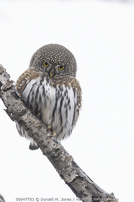 Mountain Pygmy-Owl (Glaucidium gnoma) in winter, Montana  ,  Adult,Color Image,Day,Front View,Full Length,Glaucidium gnoma,Looking at Camera,Montana,Mountain Pygmy-Owl,Nobody,One Animal,Outdoors,Photography,Vertical,Wildlife,Winter  ,  Donald M. Jones