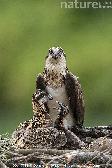 Osprey (Pandion haliaetus) parent with chicks on nest, Montana  ,  Adult,Baby,Chick,Color Image,Day,Front View,Full Length,Looking at Camera,Montana,Nest,Nobody,Osprey,Outdoors,Pandion haliaetus,Parent,Photography,Raptor,Rear View,Side View,Three Animals,Vertical,Wildlife  ,  Donald M. Jones