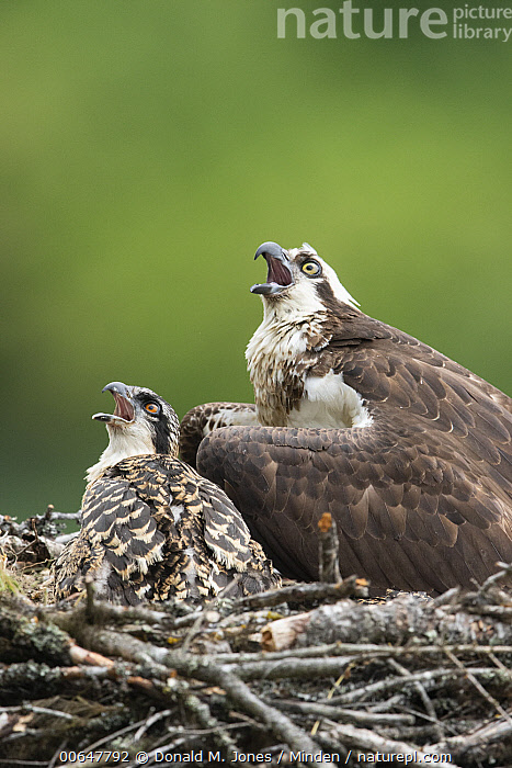 Osprey (Pandion haliaetus) parent and chick calling on nest, Montana  ,  Adult,Baby,Calling,Chick,Color Image,Day,Formation,Full Length,Looking Up,Montana,Nobody,Open Mouth,Osprey,Outdoors,Pandion haliaetus,Parent,Photography,Raptor,Side View,Two Animals,Vertical,Waist Up,Wildlife  ,  Donald M. Jones