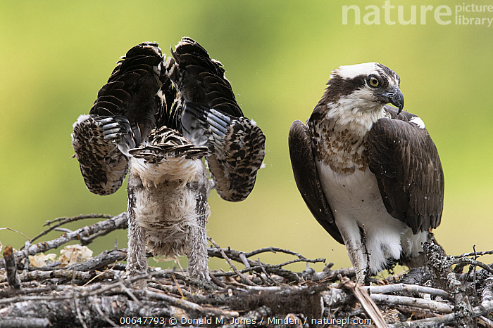 Osprey (Pandion haliaetus) parent with chick stretching on nest, Montana  ,  Adult,Baby,Chick,Color Image,Day,Front View,Full Length,Horizontal,Montana,Nest,Nobody,Osprey,Outdoors,Pandion haliaetus,Parent,Photography,Raptor,Rear View,Side View,Stretching,Two Animals,Wildlife  ,  Donald M. Jones
