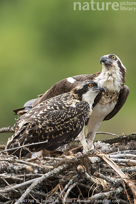 Osprey (Pandion haliaetus) parent with chick on nest, Montana  ,  Adult,Baby,Chick,Color Image,Day,Full Length,Montana,Nest,Nobody,Osprey,Outdoors,Pandion haliaetus,Parent,Photography,Raptor,Side View,Two Animals,Vertical,Wildlife  ,  Donald M. Jones