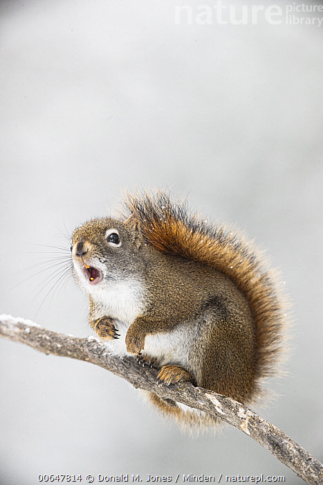 Red Squirrel (Tamiasciurus hudsonicus) calling in winter, Montana  ,  Adult,Calling,Color Image,Day,Full Length,Montana,Nobody,One Animal,Open Mouth,Outdoors,Photography,Red Squirrel,Side View,Tamiasciurus hudsonicus,Vertical,Wildlife,Winter  ,  Donald M. Jones