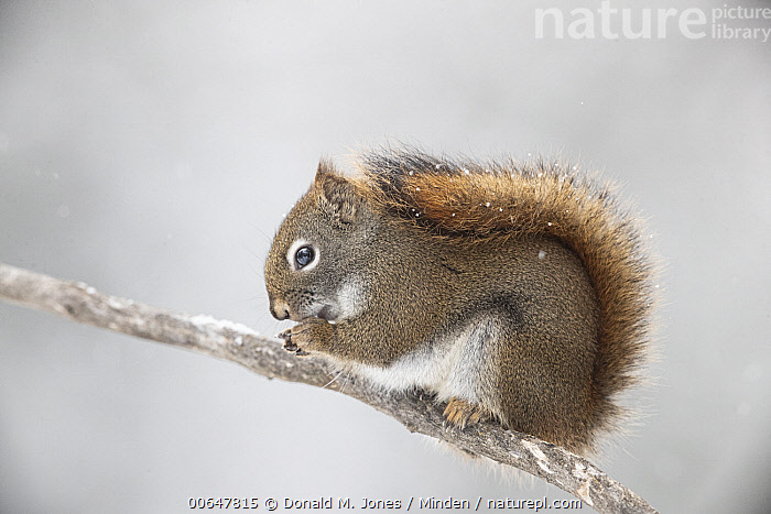 Red Squirrel (Tamiasciurus hudsonicus) feeding in winter, Montana  ,  Adult,Color Image,Day,Feeding,Full Length,Horizontal,Montana,Nobody,One Animal,Outdoors,Photography,Red Squirrel,Side View,Tamiasciurus hudsonicus,Wildlife,Winter  ,  Donald M. Jones