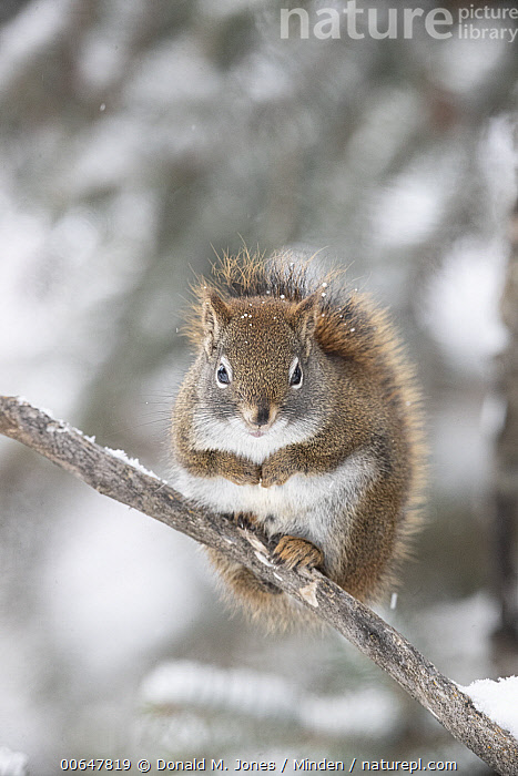 Red Squirrel (Tamiasciurus hudsonicus) in winter, Montana  ,  Adult,Cold,Color Image,Cute,Day,Front View,Full Length,Looking at Camera,Montana,Nobody,One Animal,Outdoors,Photography,Red Squirrel,Tamiasciurus hudsonicus,Vertical,Wildlife,Winter  ,  Donald M. Jones