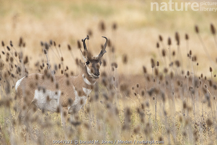 Pronghorn Antelope (Antilocapra americana) male, Montana  ,  Adult,Antilocapra americana,Buck,Camouflage,Color Image,Day,Full Length,Horizontal,Looking at Camera,Male,Montana,Nobody,One Animal,Outdoors,Photography,Pronghorn Antelope,Side View,Wildlife  ,  Donald M. Jones