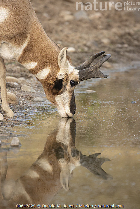 Pronghorn Antelope (Antilocapra americana) male drinking, Montana  ,  Adult,Antilocapra americana,Buck,Color Image,Day,Drinking,Head and Shoulders,Male,Montana,Nobody,One Animal,Outdoors,Photography,Pronghorn Antelope,Reflection,Side View,Vertical,Wildlife  ,  Donald M. Jones