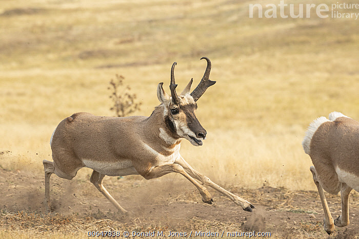 Pronghorn Antelope (Antilocapra americana) male chasing off rival, Montana  ,  Adult,Antilocapra americana,Buck,Chasing,Color Image,Competition,Day,Following,Full Length,Horizontal,Male,Montana,Nobody,Outdoors,Photography,Pronghorn Antelope,Running,Side View,Territorial,Two Animals,Wildlife  ,  Donald M. Jones