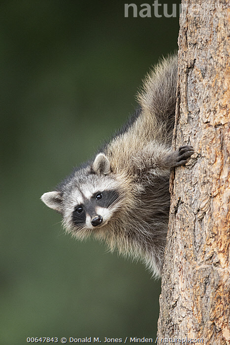 Raccoon (Procyon lotor) in tree, Montana  ,  Adult,Arboreal,Color Image,Day,Full Length,Hanging,Looking at Camera,Montana,Nobody,One Animal,Outdoors,Photography,Procyon lotor,Raccoon,Side View,Upside Down,Vertical,Wildlife  ,  Donald M. Jones