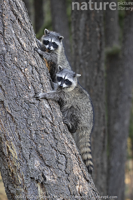 Raccoon (Procyon lotor) juveniles in tree, Montana  ,  Arboreal,Climbing,Color Image,Day,Formation,Full Length,Juvenile,Looking at Camera,Montana,Nobody,Outdoors,Photography,Procyon lotor,Raccoon,Sibling,Side View,Two Animals,Vertical,Wildlife  ,  Donald M. Jones