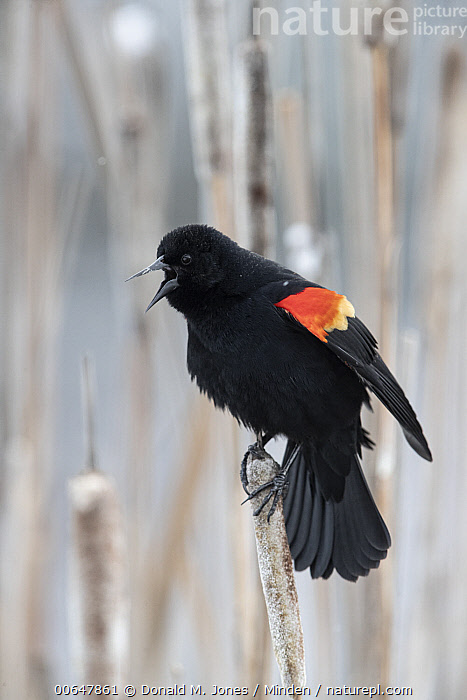 Red-winged Blackbird (Agelaius phoeniceus) male calling, Montana  ,  Adult,Agelaius phoeniceus,Calling,Color Image,Day,Full Length,Male,Montana,Nobody,One Animal,Open Mouth,Outdoors,Photography,Red-winged Blackbird,Side View,Songbird,Vertical,Wildlife  ,  Donald M. Jones