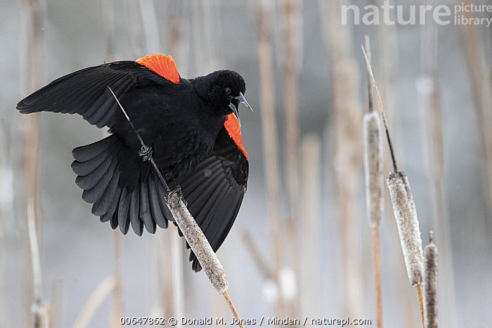 Red-winged Blackbird (Agelaius phoeniceus) male calling, Montana  ,  Adult,Agelaius phoeniceus,Calling,Color Image,Day,Displaying,Full Length,Horizontal,Male,Montana,Nobody,One Animal,Open Mouth,Outdoors,Photography,Red-winged Blackbird,Side View,Songbird,Spreading Wings,Wildlife  ,  Donald M. Jones