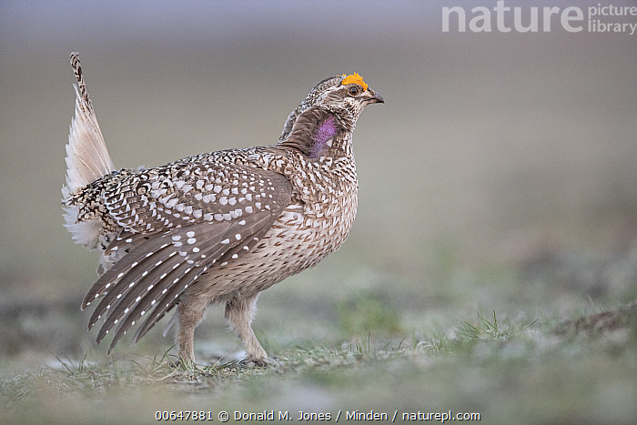 Sharp-tailed Grouse (Tympanuchus phasianellus) male in courtship display at lek, Montana  ,  Adult,Color Image,Courting,Day,Displaying,Full Length,Gamebird,Horizontal,Lek,Male,Montana,Nobody,One Animal,Outdoors,Photography,Sharp-tailed Grouse,Side View,Tympanuchus phasianellus,Wildlife  ,  Donald M. Jones