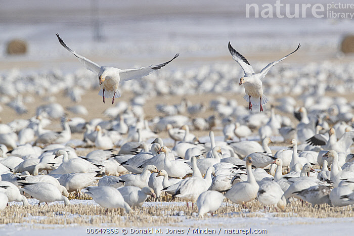 Snow Goose (Chen caerulescens) flock landing and foraging in farmland, Montana  ,  Adult,Agriculture,Chen caerulescens,Color Image,Day,Farmland,Feeding,Flock,Flying,Foraging,Full Length,Horizontal,Landing,Large Group of Animals,Montana,Nobody,Outdoors,Photography,Side View,Snow Goose,Waterfowl,Wildlife  ,  Donald M. Jones