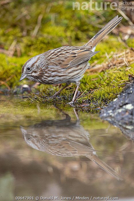 Song Sparrow (Melospiza melodia) at pond, Montana  ,  Adult,Color Image,Day,Full Length,Melospiza melodia,Montana,Nobody,One Animal,Outdoors,Photography,Pond,Reflection,Side View,Song Sparrow,Songbird,Vertical,Wildlife  ,  Donald M. Jones