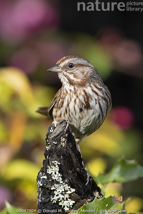 Song Sparrow (Melospiza melodia), Montana  ,  Adult,Color Image,Day,Front View,Full Length,Melospiza melodia,Montana,Nobody,One Animal,Outdoors,Photography,Song Sparrow,Songbird,Vertical,Wildlife  ,  Donald M. Jones
