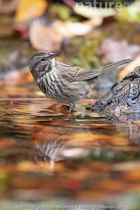 Song Sparrow (Melospiza melodia) at pond, Montana  ,  Adult,Color Image,Day,Full Length,Melospiza melodia,Montana,Nobody,One Animal,Outdoors,Photography,Pond,Side View,Song Sparrow,Songbird,Vertical,Wildlife  ,  Donald M. Jones