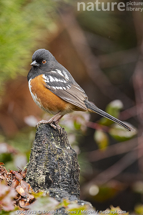 Spotted Towhee (Pipilo maculatus) male, Montana  ,  Adult,Color Image,Day,Full Length,Male,Montana,Nobody,One Animal,Outdoors,Photography,Pipilo maculatus,Side View,Songbird,Spotted Towhee,Vertical,Wildlife  ,  Donald M. Jones