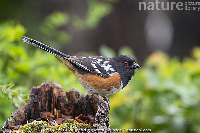 Spotted Towhee (Pipilo maculatus) male, Montana  ,  Adult,Color Image,Day,Full Length,Horizontal,Male,Montana,Nobody,One Animal,Outdoors,Photography,Pipilo maculatus,Side View,Songbird,Spotted Towhee,Wildlife  ,  Donald M. Jones