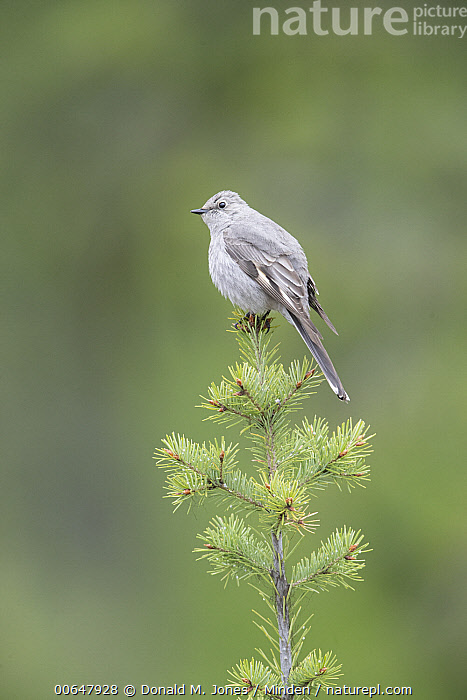 Townsend's Solitaire (Myadestes townsendi), Montana  ,  Adult,Color Image,Day,Full Length,Montana,Myadestes townsendi,Nobody,One Animal,Outdoors,Photography,Side View,Songbird,Townsend's Solitaire,Vertical,Wildlife  ,  Donald M. Jones
