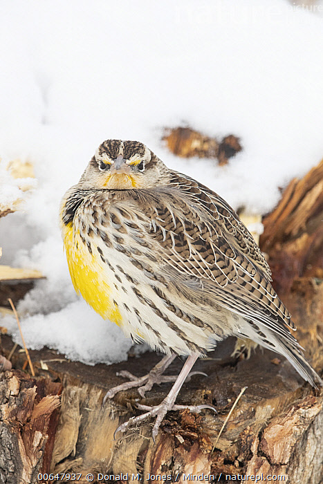 Western Meadowlark (Sturnella neglecta) in winter, Colorado  ,  Adult,Angry,Color Image,Colorado,Day,Emoting,Full Length,Looking at Camera,Nobody,One Animal,Outdoors,Photography,Side View,Snow,Songbird,Sturnella neglecta,Vertical,Western Meadowlark,Wildlife,Winter  ,  Donald M. Jones