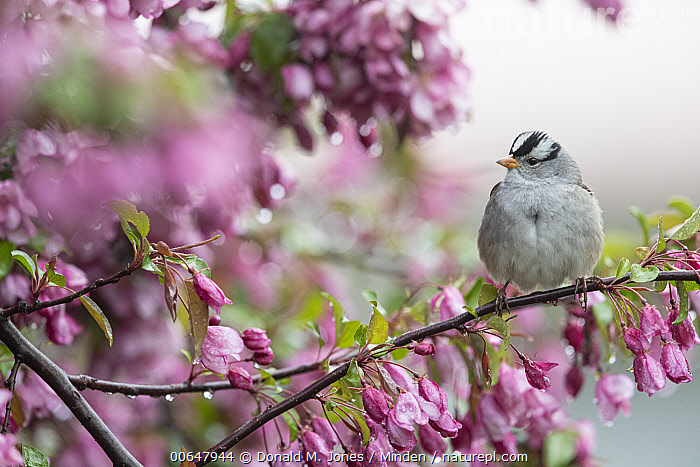 White-crowned Sparrow (Zonotrichia leucophrys), Montana  ,  Adult,Color Image,Day,Front View,Full Length,Horizontal,Montana,Nobody,One Animal,Outdoors,Photography,Songbird,White-crowned Sparrow,Wildlife,Zonotrichia leucophrys  ,  Donald M. Jones