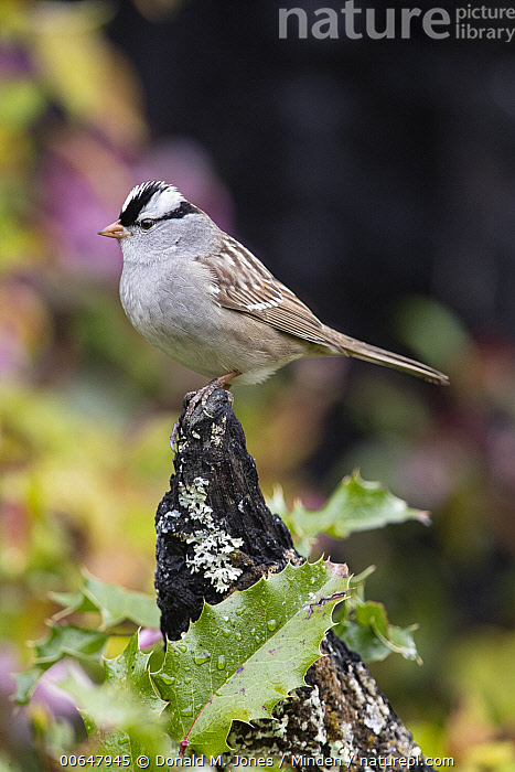 White-crowned Sparrow (Zonotrichia leucophrys), Montana  ,  Adult,Color Image,Day,Full Length,Montana,Nobody,One Animal,Outdoors,Photography,Side View,Songbird,Vertical,White-crowned Sparrow,Wildlife,Zonotrichia leucophrys  ,  Donald M. Jones
