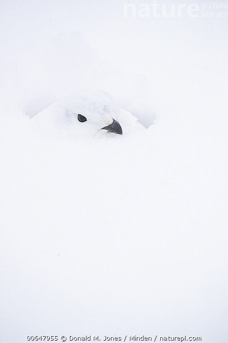 White-tailed Ptarmigan (Lagopus leucura) camouflaged in winter, Alberta, Canada  ,  Abstract,Adult,Alberta,Camouflage,Canada,Color Image,Day,Front View,Full Length,Gamebird,Lagopus leucura,Nobody,One Animal,Outdoors,Photography,Snow,Vertical,White,White-tailed Ptarmigan,Wildlife,Winter  ,  Donald M. Jones