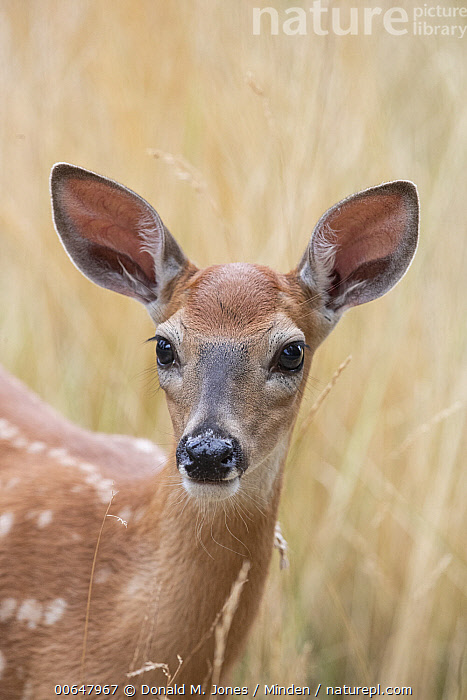 White-tailed Deer (Odocoileus virginianus) fawn, North America  ,  Baby,Close Up,Color Image,Day,Fawn,Head and Shoulders,Looking at Camera,Nobody,North America,Odocoileus virginianus,One Animal,Outdoors,Photography,Portrait,Side View,Vertical,White-tailed Deer,Wildlife  ,  Donald M. Jones