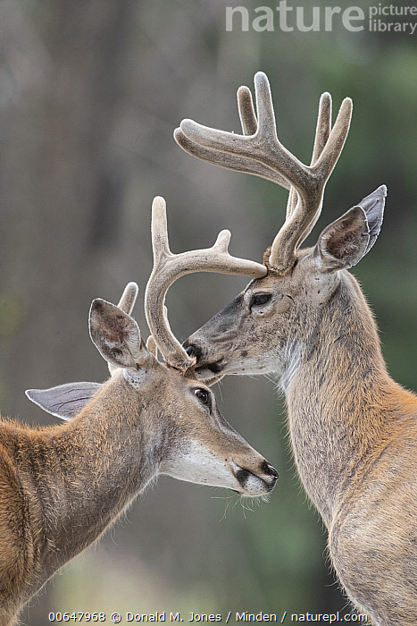 White-tailed Deer (Odocoileus virginianus) bucks grooming, Montana  ,  Adult,Bonding,Buck,Color Image,Day,Grooming,Head and Shoulders,Licking,Male,Montana,Nobody,Odocoileus virginianus,Outdoors,Photography,Side View,Two Animals,Vertical,White-tailed Deer,Wildlife  ,  Donald M. Jones