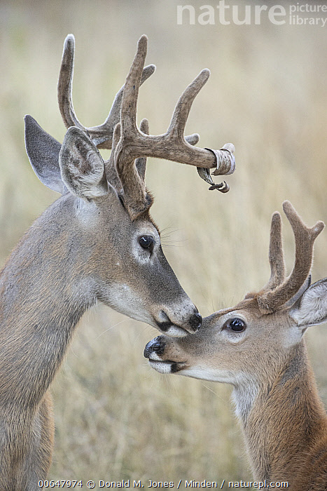 White-tailed Deer (Odocoileus virginianus) bucks nuzzling, Montana  ,  Adult,Bonding,Buck,Close Up,Color Image,Day,Head,Male,Montana,Nobody,Nuzzling,Odocoileus virginianus,Outdoors,Photography,Side View,Touching,Two Animals,Vertical,White-tailed Deer,Wildlife  ,  Donald M. Jones