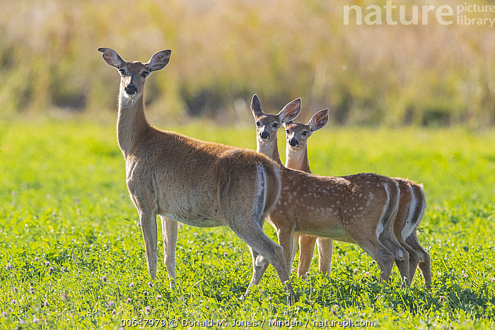White-tailed Deer (Odocoileus virginianus) mother and fawns, Montana  ,  Adult,Baby,Color Image,Day,Doe,Fawn,Female,Full Length,Horizontal,Looking at Camera,Montana,Mother,Nobody,Odocoileus virginianus,Outdoors,Parent,Photography,Side View,Three Animals,White-tailed Deer,Wildlife  ,  Donald M. Jones