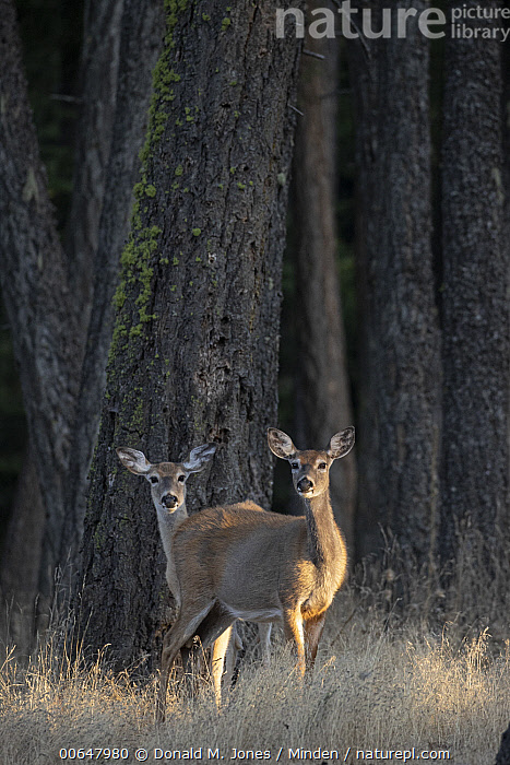 White-tailed Deer (Odocoileus virginianus) does, Montana  ,  Adult,Color Image,Day,Doe,Female,Full Length,Looking at Camera,Montana,Nobody,Odocoileus virginianus,Outdoors,Photography,Side View,Two Animals,Vertical,White-tailed Deer,Wildlife  ,  Donald M. Jones