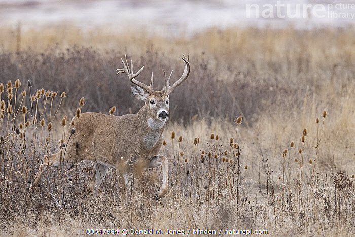 White-tailed Deer (Odocoileus virginianus) buck, Montana  ,  Adult,Buck,Color Image,Day,Full Length,Horizontal,Male,Montana,Nobody,Odocoileus virginianus,One Animal,Outdoors,Photography,Side View,White-tailed Deer,Wildlife  ,  Donald M. Jones