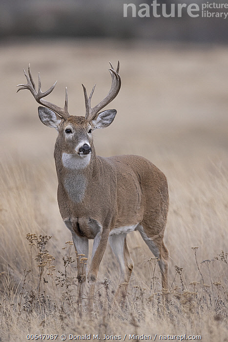 White-tailed Deer (Odocoileus virginianus) buck, Montana  ,  Adult,Buck,Color Image,Day,Full Length,Male,Montana,Nobody,Odocoileus virginianus,One Animal,Outdoors,Photography,Side View,Vertical,White-tailed Deer,Wildlife  ,  Donald M. Jones