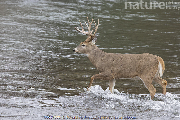 White-tailed Deer (Odocoileus virginianus) buck crossing river, Montana  ,  Adult,Buck,Color Image,Crossing,Day,Full Length,Horizontal,Male,Montana,Nobody,Odocoileus virginianus,One Animal,Outdoors,Photography,River,Side View,Wading,White-tailed Deer,Wildlife  ,  Donald M. Jones