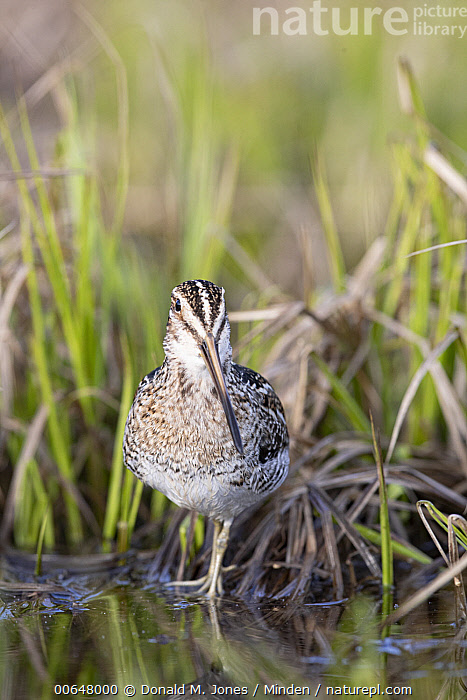 Common Snipe (Gallinago gallinago), Montana  ,  Adult,Color Image,Common Snipe,Day,Front View,Full Length,Gallinago gallinago,Montana,Nobody,One Animal,Outdoors,Photography,Shorebird,Vertical,Wildlife  ,  Donald M. Jones
