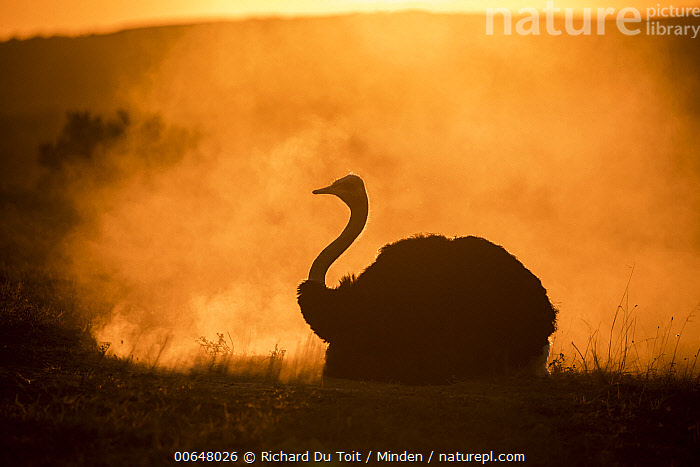 Ostrich (Struthio camelus) dust bathing at sunset, Addo National Park, South Africa  ,  Addo National Park,Adult,Backlighting,Color Image,Day,Dust Bathing,Full Length,Horizontal,Moody,Nobody,One Animal,Ostrich,Outdoors,Photography,Side View,South Africa,Struthio camelus,Sunrise,Sunset,Wildlife  ,  Richard Du Toit