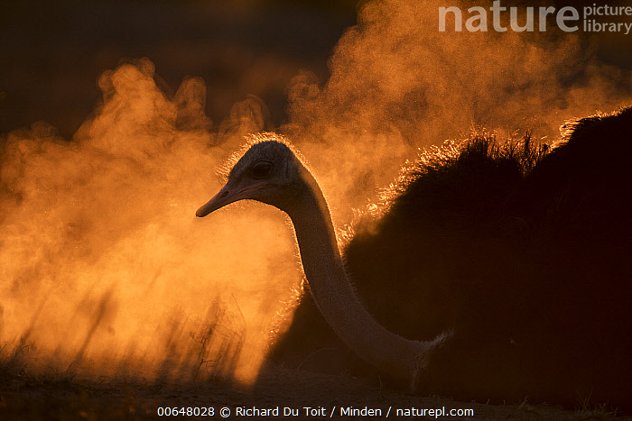Ostrich (Struthio camelus) dust bathing at sunset, Addo National Park, South Africa  ,  Addo National Park,Adult,Backlighting,Color Image,Day,Dust Bathing,Horizontal,Moody,Nobody,One Animal,Ostrich,Outdoors,Photography,Side View,South Africa,Struthio camelus,Sunrise,Sunset,Waist Up,Wildlife  ,  Richard Du Toit