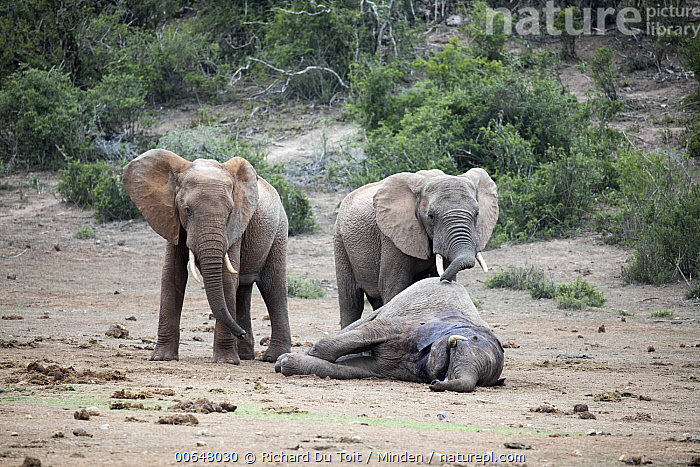 African Elephant (Loxodonta africana) pair with dead bull from fighting, Addo National Park, South Africa  ,  Addo National Park,Adult,African Elephant,Bull,Carcass,Color Image,Day,Dead,Death,Front View,Full Length,Horizontal,Loxodonta africana,Male,Mourning,Nobody,Outdoors,Photography,Side View,South Africa,Threatened Species,Two Animals,Vulnerable Species,Wildlife  ,  Richard Du Toit
