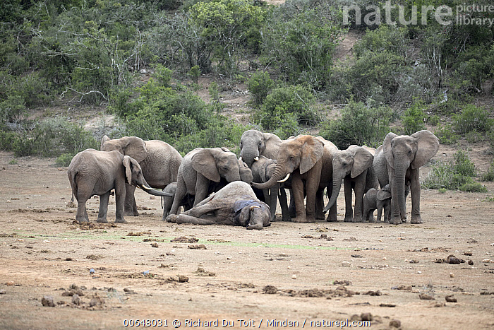 African Elephant (Loxodonta africana) herd with dead bull from fighting, Addo National Park, South Africa  ,  Addo National Park,Adult,African Elephant,Bull,Color Image,Day,Dead,Death,Front View,Full Length,Herd,Horizontal,Loxodonta africana,Male,Medium Group of Animals,Mourning,Nobody,Outdoors,Photography,Side View,South Africa,Threatened Species,Vulnerable Species,Wildlife  ,  Richard Du Toit