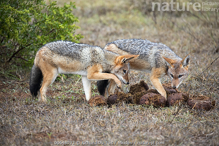 Black-backed Jackal (Canis mesomelas) pair foraging for insects in African Elephant (Loxodonta africana) dung, Addo National Park, South Africa  ,  Addo National Park,Adult,African Elephant,Black-backed Jackal,Canis mesomelas,Color Image,Day,Digging,Dung,Foraging,Full Length,Horizontal,Loxodonta africana,Nobody,Outdoors,Photography,Side View,South Africa,Threatened Species,Two Animals,Vulnerable Species,Wildlife  ,  Richard Du Toit